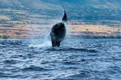 Humpback whale breaching. Humpback whale breaching in Lahaina, Maui, Hawaii, Taken 01.2018 royalty free stock photos