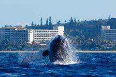 Humpback whale breaching. Humpback whale breaching in Lahaina, Maui, Hawaii, Taken 01.2018 stock photography