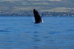 Humpback whale breaching. Humpback whale breaching in Lahaina, Maui, Hawaii, Taken 02.2018 stock image
