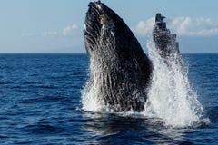 Humpback whale breaching. Humpback whale breaching in Lahaina, Maui, Hawaii, Taken 01.2018 stock photos