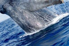 Humpback whale breaching. Humpback whale breaching in Lahaina, Maui, Hawaii. Winter stock photos