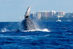 Humpback whale breaching. Humpback whale breaching in Lahaina, Maui, Hawaii. Winter stock photo