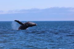 Humpback whale breaching jumping water in Pacific Ocean Alaska Stock Images