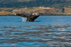 Humpback whale breaching. Humpback whale breaching in Lahaina, Maui, Hawaii, Taken 01.2018 royalty free stock images