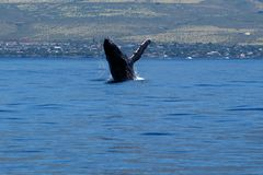 Humpback whale breaching. Humpback whale breaching in Lahaina, Maui, Hawaii, Taken 02.2018 stock images