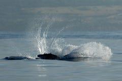 Humpback whale breaching. Humpback whale breaching in Lahaina, Maui, Hawaii, Winter stock image