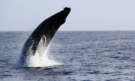 Humpback Whale Breaching Royalty Free Stock Photography