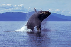 Humpback whale breaching (Megaptera novaeangliae), Alaska, South. Humpback whale breaching in this dramatic Alaskan scene stock photography