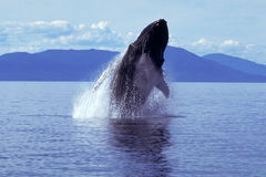 Humpback whale breaching (Megaptera novaeangliae), Alaska, South. Humpback whale breaching and spouting as it exits the water in this dramatic Alaskan scene royalty free stock photography