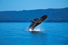 Humpback whale breaching (Megaptera novaeangliae), Alaska, South. Humpback whale breaching on a sunny day in this beautiful Alaskan scene stock photos