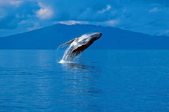 Humpback whale breaching (Megaptera novaeangliae), Alaska, South. Humpback whale breaching on a sunny day in this beautiful Alaskan scene royalty free stock photo