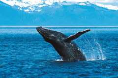 Humpback whale breaching (Megaptera novaeangliae), Alaska, South. Humpback whale breaching on a sunny day in this beautiful Alaskan scene stock photography