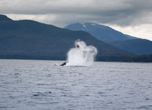 Humpback whale breaching near Juneau royalty free stock photos