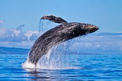 Humpback whale breaching nera Lahaina on Maui. Exhuberant Humpback whale breaching almost completely out of the ocean on Maui stock photos