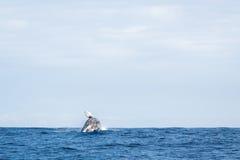 Humpback whale breaching. In ocean stock image