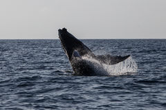 Humpback Whale Breaching in Ocean Royalty Free Stock Photo