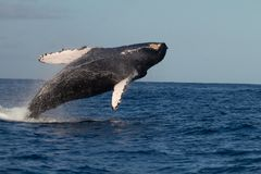 Humpback Whale Breaching off Maui and Lanai. Humpback Whale breaching / jumping off Maui and Lanai, Hawaii stock image