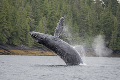 Humpback whale breaching offshore at Craig, Alaska. Grey humpback whale breaching waters offshore at Craig, Alaska royalty free stock image