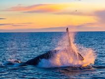 Humpback Whale breaching out of water in the morning light. In Iceland stock photography