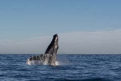 Humpback whale breaching. On pacific ocean background royalty free stock photos