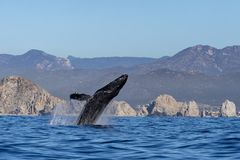 Humpback whale breaching in cabo san lucas mexico. Humpback whale breaching on pacific ocean background in cabo san lucas mexico royalty free stock images
