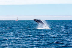 Humpback whale breaching. On a sunny day off the California coast stock photography