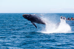 Humpback whale breaching. On a sunny day off the California coast royalty free stock photo