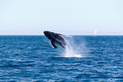 Humpback whale breaching. On a sunny day off the California coast royalty free stock image