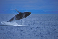 Humpback Whale Breaching the Water. A juvenile humpback whale is breaching the water with the coast in the background royalty free stock photos