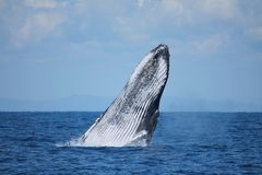 Humpback Whale Breaching. Humpback Whaie Megaptera novaeangliae, a baleen species Breaching in Madagascar. A calm sea with a cloudy sky royalty free stock photography