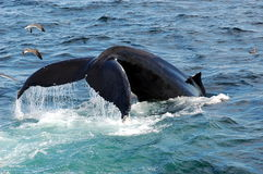 Humpback Whale Breaking Surface. Humbpack whale breaking surface off Cape Cod stock images