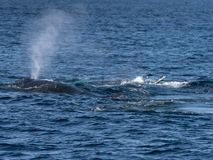 Humpback whale breathes royalty free stock image