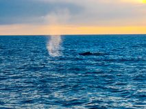 Humpback Whale breathing and blow water into the air Royalty Free Stock Photo