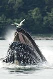 Humpback Whale Bubble Net Feeding Stock Image