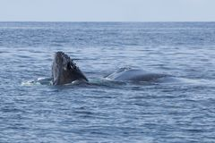 Humpback Whale Calf Emerging From Ocean. A Humpback whale calf, Megaptera novaeangliae, pokes its head out of the Atlantic Ocean. Each year the North Atlantic Royalty Free Stock Images