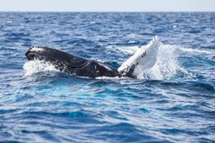 Humpback Whale Calf at Play in the Atlantic. A Humpback whale calf, Megaptera novaeangliae, plays at the surface of the Atlantic Ocean. Each year the North Stock Photography