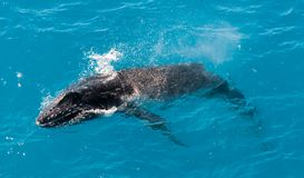 Humpback whale calf surfacing, Kimberley coast, Australia stock photography