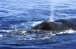 Humpback whale. Closeup of a humpback whale in indian ocean near Reunion island stock image