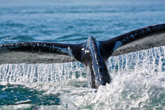 Humpback Whale Dives in BLue Ocean Water Royalty Free Stock Photo