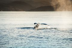Humpback whale dives showing the tail in Greenland. Humpback whale dives showing the tail in Atlantic ocean, western Greenland royalty free stock images