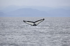 Humpback whale diving in Alaska with tail showing Stock Image