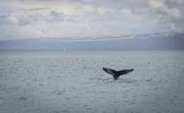 Humpback Whale diving with a fjord on the background. Megaptera novaeangliae royalty free stock photo