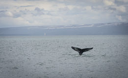 Humpback Whale diving with a fjord on the background. Humpback Whale diving  with a fjord on the background. Megaptera novaeangliae Royalty Free Stock Photography
