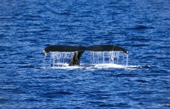 Humpback Whale Diving in Maui Hawaii stock photography