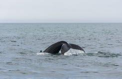 Humpback Whale diving. Megaptera novaeangliae Stock Photography