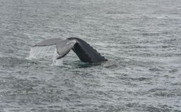 Humpback Whale diving. Megaptera novaeangliae Royalty Free Stock Photos