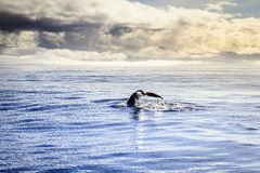 Humpback whale Royalty Free Stock Photography