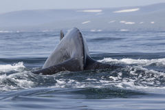 Humpback Whale before diving into the water on the background of Royalty Free Stock Photos