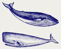 The Humpback whale. Doodle style Royalty Free Stock Images