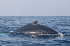 Humpback Whale Dorsal Fin Stock Photography
